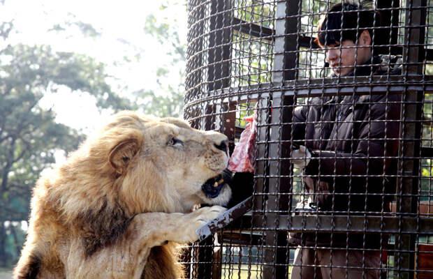Посетитель из клетки кормит африканского льва в тематическом парке в Синьчжу, Тайвань