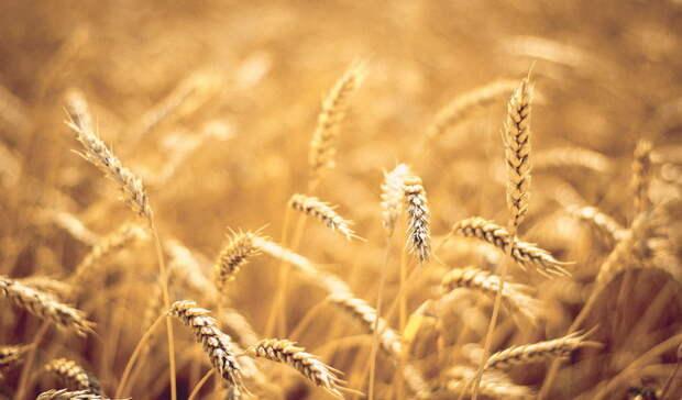 Белгородца обвиняют всамовольном занятии земли из-завыращивания зерновых