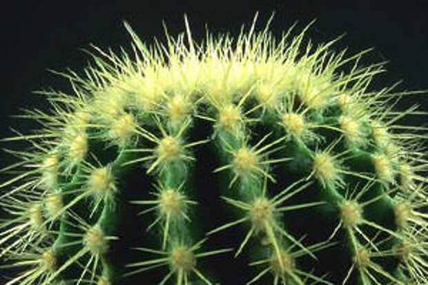 Растение кактус фото и описание