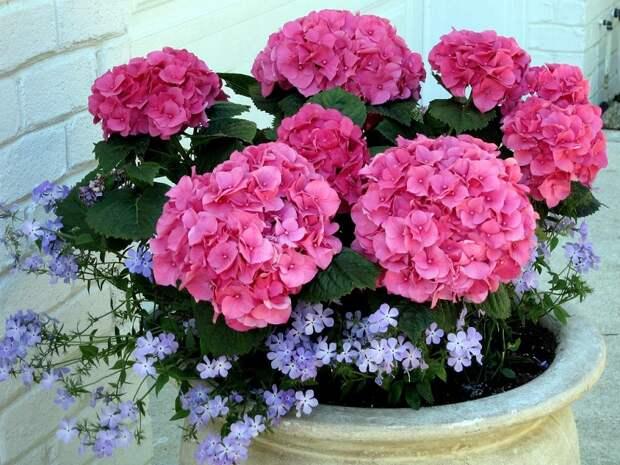 ядовитые комнатные растения и цветы