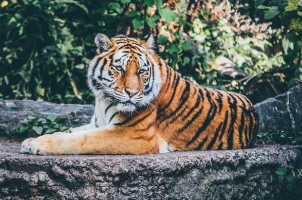 Американские полицейские нашли пропавшего тигра