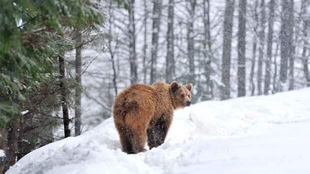 Медведи впадают в спячку зимой