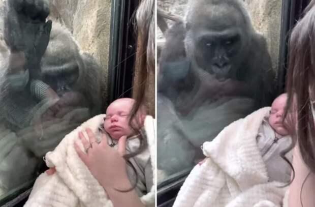 В зоопарке мама показала горилле своего малыша, и удивилась её реакции