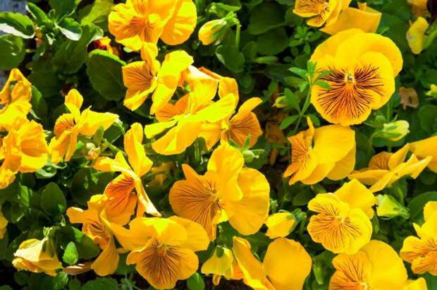 yellow viola tricolor flowers