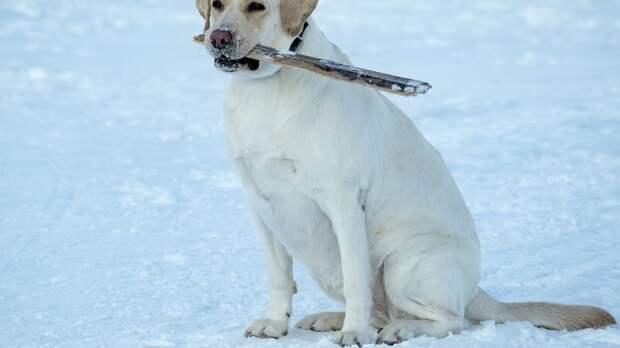 """""""Порадовал всю семью"""": Путин подарил щенка ретривера особенной девочке из Обнинска"""