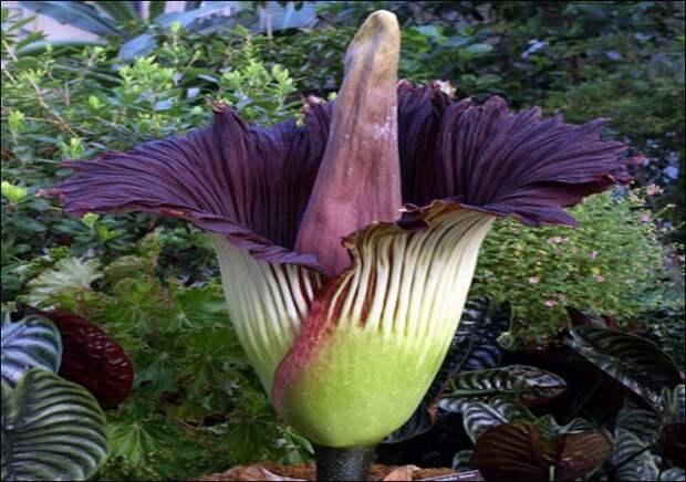 Картинки по запросу самый большой цветок в мире