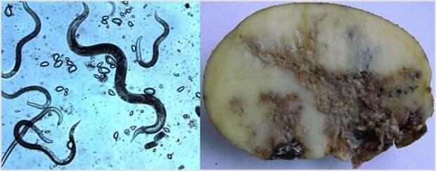 Вредителя картофеля - стеблевая нематода
