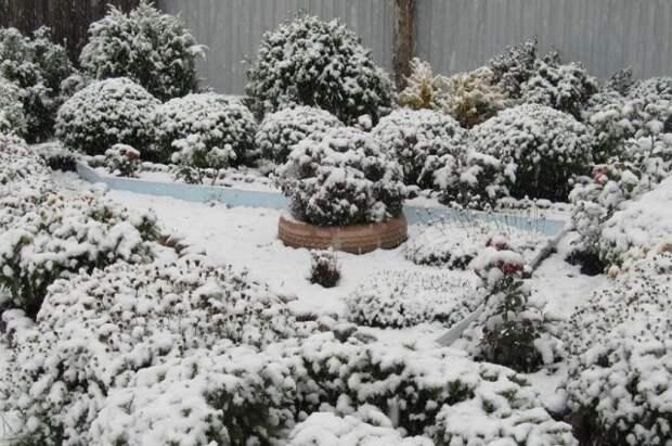 хризантемы под снегом