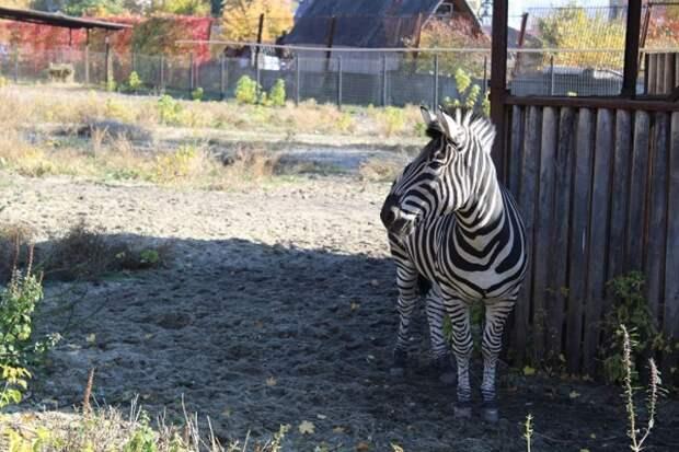 Зоопарк Пензы собирает деньги на покупку подруги для зебры Мартина