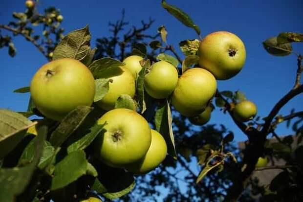 прием ускорения плодоношения яблони