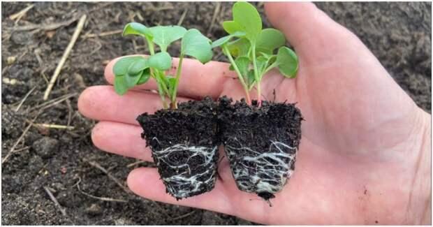 Букетный способ: самый быстрый и эффективный метод выращивания рассады редиса