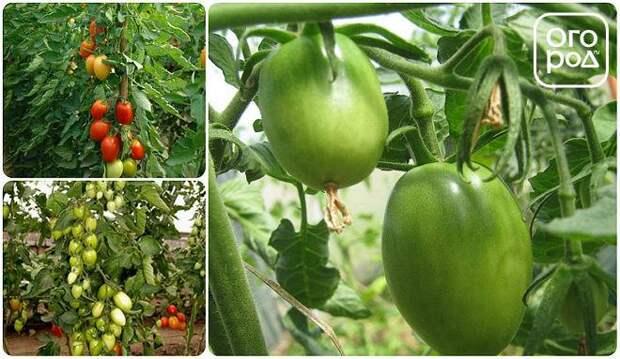 томаты помидоры сорт Раджа