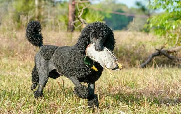 Королевский пудель: «Дамский пёсик»? Неожиданно, но эта порода выведена для охоты и охраны