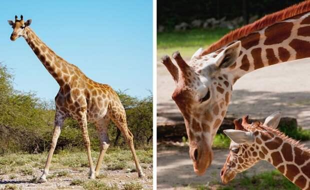 Беременность может длиться всего 12 дней, если вы — опоссум! Другим зверям повезло меньше.