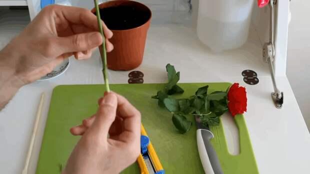 Вторая жизнь срезанной розы: повторное цветение — это реальность!