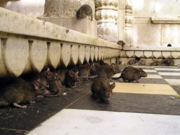В продуктовом магазине в Петербурге нашли крыс в коробке с листьями салата