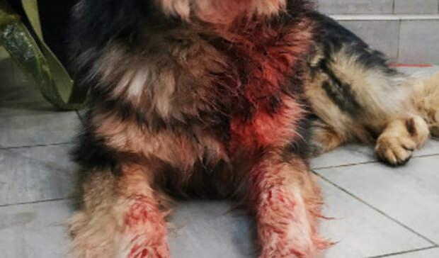 Истекавшего кровью пса сулицы спасли волонтёры вСысерти