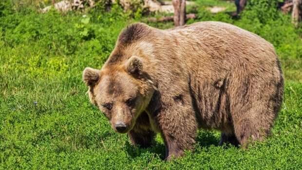 Молодой человек погиб после нападения раненого медведя в Хабаровском крае