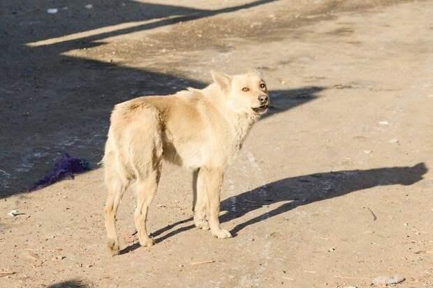 Житель Читы пожаловался на агрессивную свору собак около Октябрьского