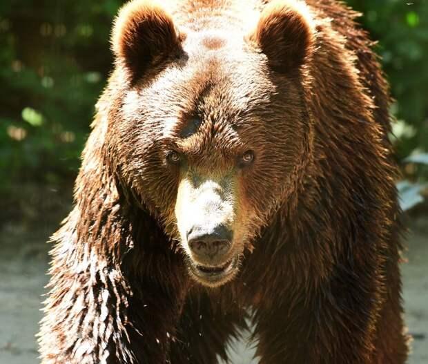 «Хищник очень крупный»: медведя видели в лесу под Новосибирском