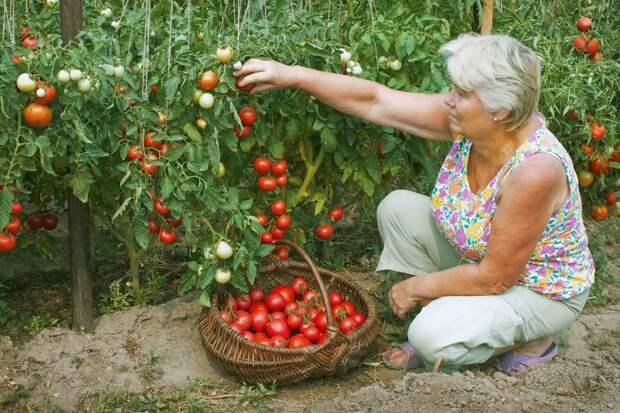 Верный способ посадки томатов, которому меня научил сосед по даче