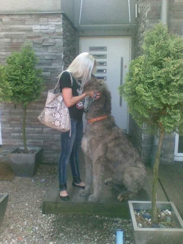 Самый высокий мальчик домашний питомец, животные, ирландский волкодав, размер, собака