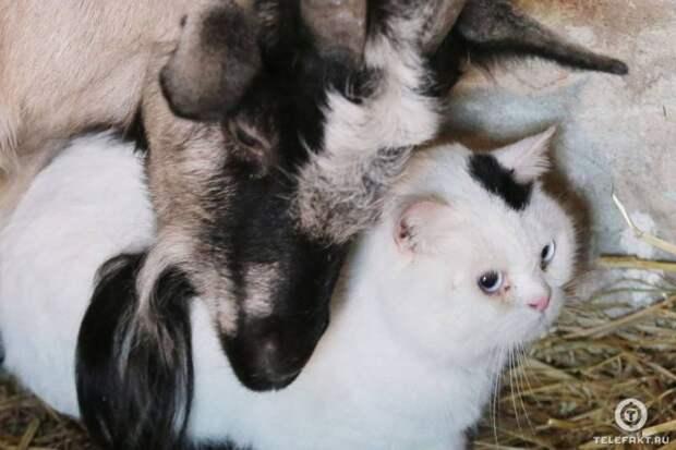 Кот и коза подружились в челябинском приюте