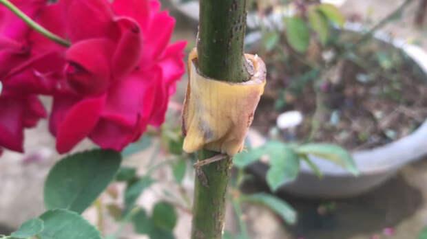 Необычный способ укоренения розы — у вас точно получится