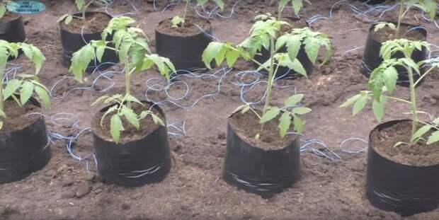 Секрет ранней посадки томатов