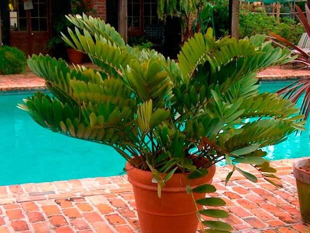 Комнатное растение Замия (латинское Zamia)