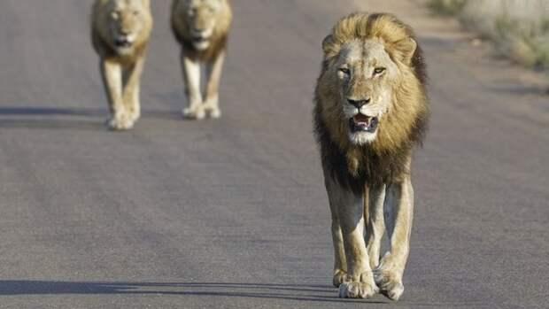 Четырнадцать львов сбежали из заповедника в ЮАР