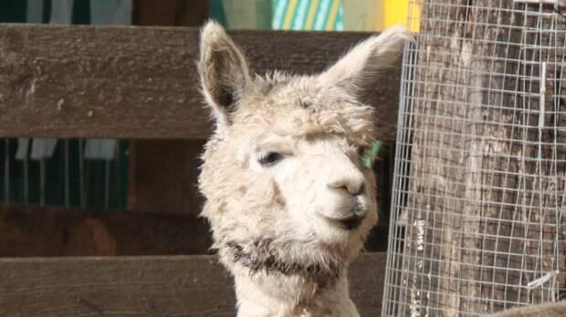 Альпака из челябинского зоопарка похвастался модной стрижкой