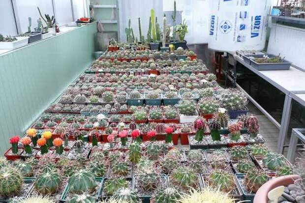 кактусы на на зимовке