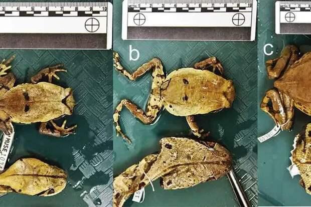Жаба может превращаться в гадюку для защиты от хищников