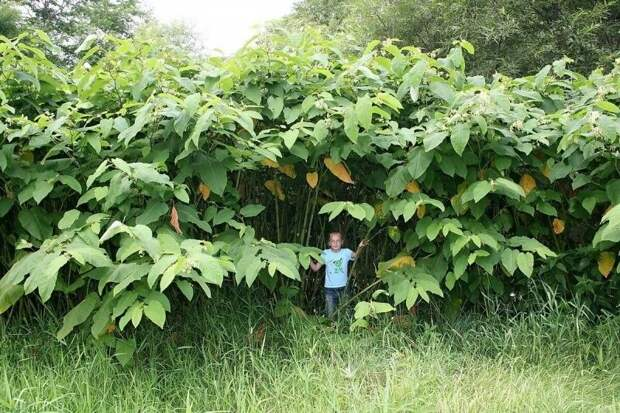 Почему на Сахалине обычные растения достигают гигантских размеров?