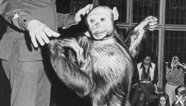 Американский гибрид обезьяны и человека