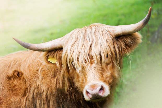 Шотландия решила привлекать туристов с помощью шоу пушистых коров