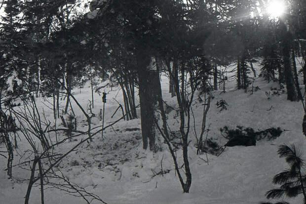 Кедр, около которого были найдены тела Георгия (Юрия) Кривонищенко и Юрия Дорошенко