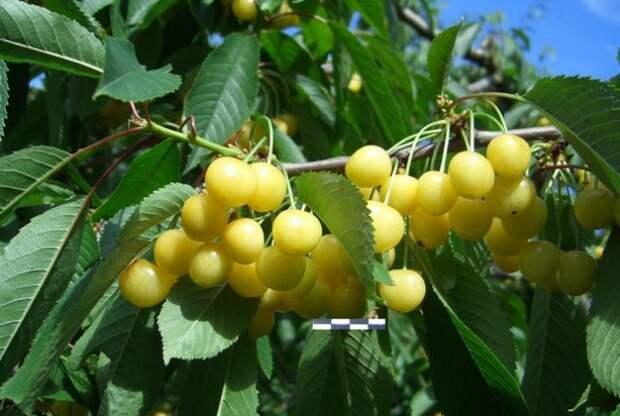 Почему у черешни цветков много, а плодов мало