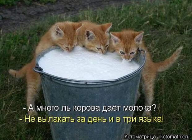 Котоматрица: - А много ль корова даёт молока? - Не вылакать за день и в три языка!