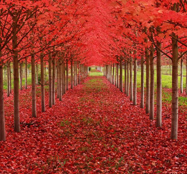 Кленовые деревья, Орегон