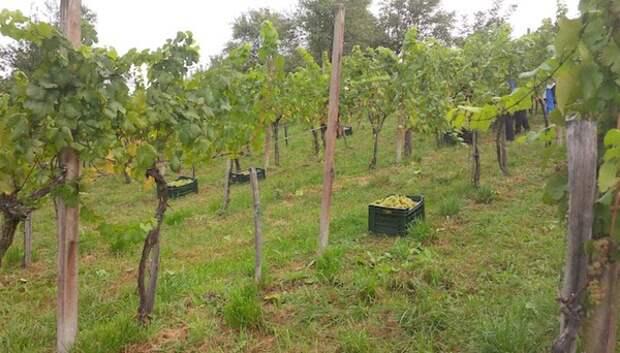 Выбор места для виноградника