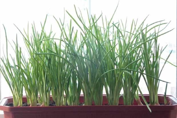 Польза зеленого лука