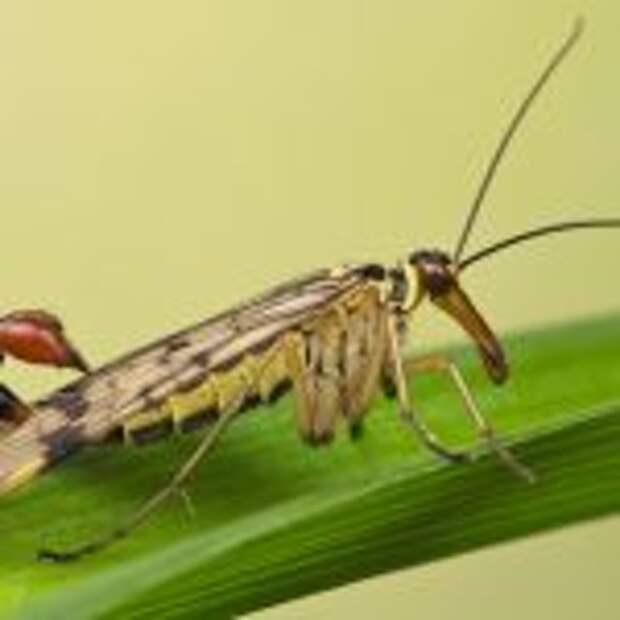 Скорпионовая муха (Mecoptera)