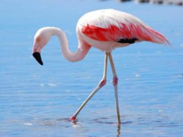 Интересные факты о фламинго. 28 фактов о фламинго