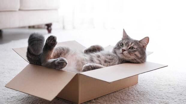 Любовь кошек к воображаемым коробкам объяснили ученые