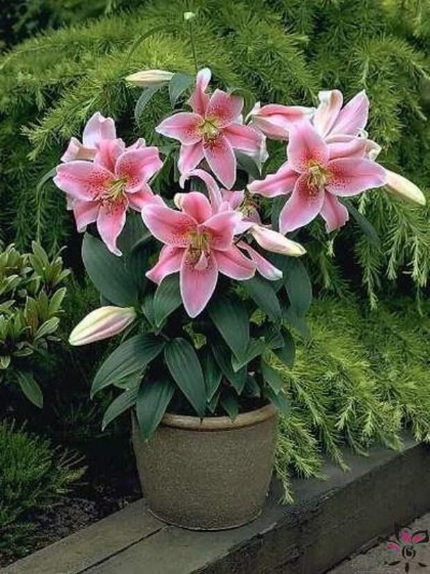 Лилии в кашпо — прекрасное решение для украшения балкона и сада