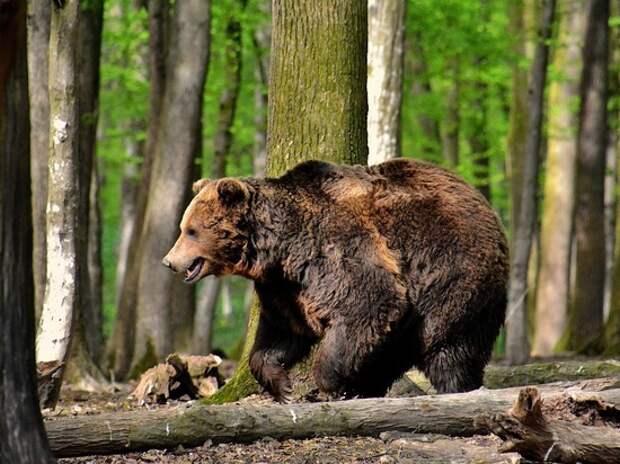 Медведь растерзал зашедшего в лес с топором россиянина