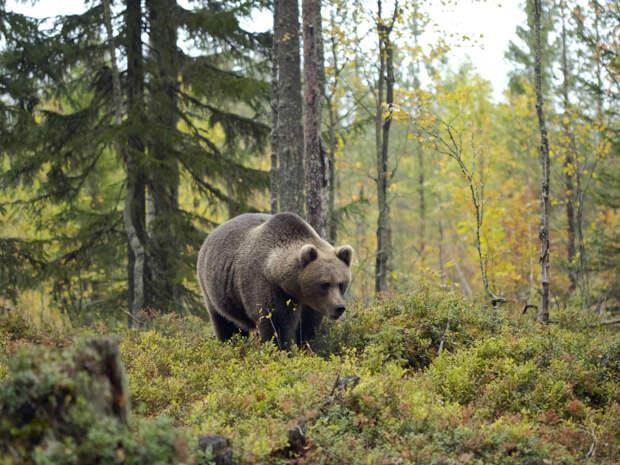 В Якутии 84-летняя пенсионерка в одиночку справилась с медведем