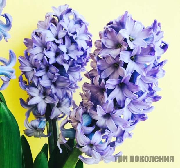 Как сохранить луковицу гиацинта, купленную в цветочном магазине? Стоит ли ее высаживать у себя на участке?